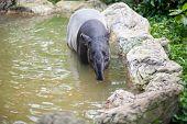 Tapir in the pond