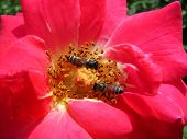 Two Bees On Rose