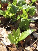 Young Ramsons And Arum In The Beech Forest