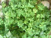 Four Leafclover