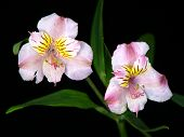 Pink & White Lily