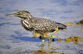 nycticorax on the Red Sea