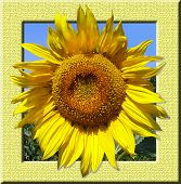 sunflowers in the frame