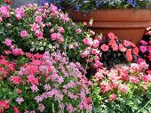 image of lobelia  - masses of flowering annuals in large clay pots - JPG