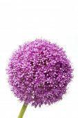 purple flower (Allium Giganteum)