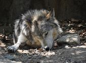 Resting Mexican Wolf Licking His Front Paw. poster