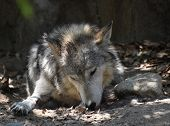Resting Gray Wolf With His Head Down Sleeping. poster