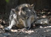 Timber Wolf Licking The Pads Of His Paws. poster
