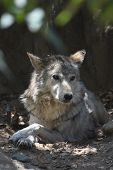 Beautiful Wild Wolf Resting In A Wooded Grove. poster