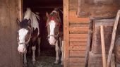 Two Horses Are Waiting For Oat At The Stable Animals Feeding Careful Attitude To The Animals Wooden  poster
