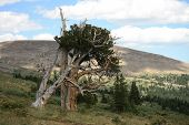 stock photo of colorado high country  - Gnarled ancient Bristlecone Pine Tree in Colorado alpine country - JPG