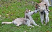 kissing huskies