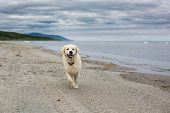 Image Of Happy And Cute Golden Retriever Dog Running On The Beach At The Seaside In Summer poster