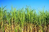 plantación de caña de azúcar