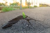 Small And Green Plant Grows Through Urban Asphalt Ground. Green Plant Growing From Crack In Asphalt  poster