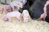 3 day old baby pigs. Piglets. Baby Piglets in a pig pen poster