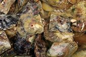 Cultured Pearl Oysters. Fish Tank filled with Man Made Cultured Pearl Oysters in sea water.  poster