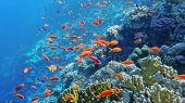 Underwater World Of The Red Sea, Corals, Goldfish And Other Fish, Against The Background Of The Sea  poster