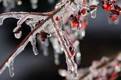 frozen red berry bush encased in ice