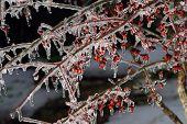 red berry bush encased in ice