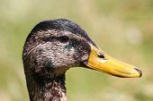 A Male Mallard Drake Moulting At The End Of Summer poster