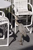 A Hungry Great Blue Heron Scavenges For Human Food On A Table And Chairs On A Beach Deck In Indian R poster