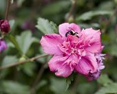 Bee On Althea