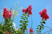 stock photo of crepe myrtle  - red crepe myrtle flowers with a sky background - JPG