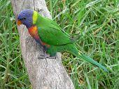 foto of king parrot  - rainbow lorikeet  - JPG