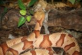copperhead snake in captivity at the