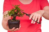 Woman Is Cutting A Bonsai Tree
