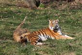 pic of tigress  - details of a tigress with her cub - JPG