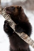 stock photo of wolverine  - A high resolution image of a Wolverine - JPG