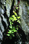 Steinmauer - Pflanze