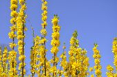 Forsythia and a Blue Blue Sky