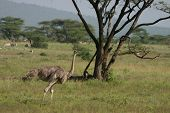 Ostrich in the African Savannah