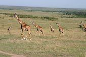 Giraffes in Savannah