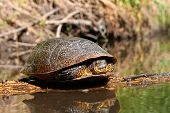stock photo of winnebago  - Blandings Turtle  - JPG