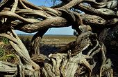 Twisted vines at Crooked River