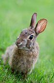 Curiuos mira Sylvilagus bunny