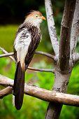 Guira cuckoo bird