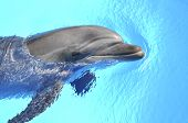 stock photo of grampus  - smiling dolphin swims in a clear blue water - JPG