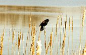 The Red-winged Blackbird.