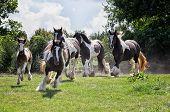 Gypsy Vanner caballos
