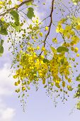 image of cassia  - Golden flower or Cassia fistula with blue sky background  It is national flower of Thailand - JPG