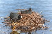 Coot (fulica Atra) Sat On Eggs In Nest
