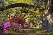 picture of azalea  - Charleston SC Spring Bloom Azalea Flowers South Carolina Plantation Garden under live oaks and spanish moss - JPG