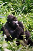 Mountain Gorilla In Thinking Man Pose