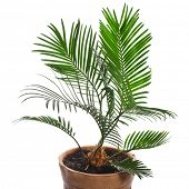 palm tree in brown flowerpot isolated on white background