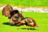 stock photo of mating animal  - Wild Turkey strutting in the spring mating season for a female - JPG